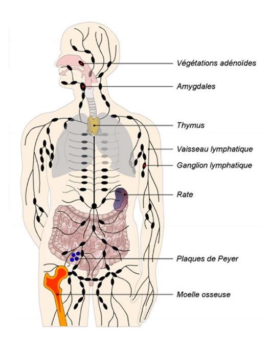 Organes-lymphoides-Florence-Drean-Naturopathe-Saint-Genis-laval